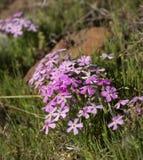Phlox Longifolia Royalty Free Stock Photos