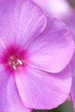 phlox makro Fotografia Stock