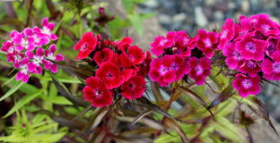 Phlox Mixed Colors Royalty Free Stock Images