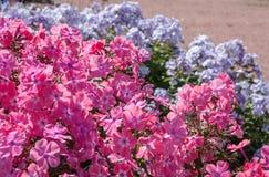Phlox nel giardino immagini stock libere da diritti