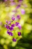 Phlox púrpura Imágenes de archivo libres de regalías