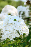 Phlox paniculata Stock Photo