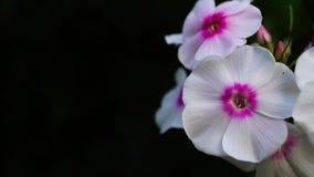 Phlox Paniculata banque de vidéos