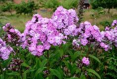 Phlox Paniculata Στοκ εικόνες με δικαίωμα ελεύθερης χρήσης