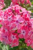 Phlox paniculata, autumn phlox, perennial phlox phlox. macro shot of a flower. flowers asia stock photos