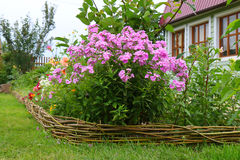 Phlox paniculata in bloom Stock Image