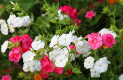 Phlox paniculata in bloom Stock Photo