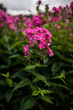 Phlox paniculata, Bubblegum variety, phlox with pink flowrs. Phlox paniculata, Bubblegum variety is a garden phlox with green leaves and vibrant pink fragrant Royalty Free Stock Photography