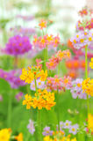 Phlox paniculata flowers Stock Images