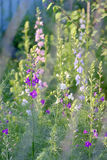 Phlox paniculata flowers Royalty Free Stock Photo
