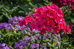 Phlox paniculata Flowers Royalty Free Stock Images