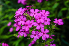 Phlox Paniculata Stock Photography