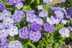 Phlox paniculata (Garden phlox) Royalty Free Stock Images