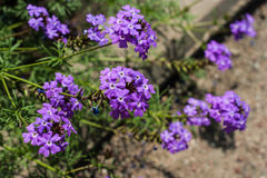 Phlox paniculata (Garden phlox) Royalty Free Stock Photo
