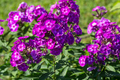 Phlox paniculata (Garden phlox) in bloom Royalty Free Stock Image