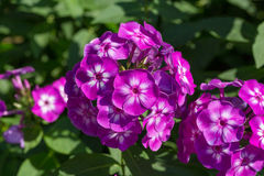 Phlox paniculata (Garden phlox) in bloom Royalty Free Stock Photo