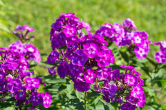 Phlox paniculata (Garden phlox) in bloom Stock Image