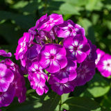 Phlox paniculata (Garden phlox) in bloom Royalty Free Stock Images
