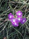 Phlox paniculata stock images