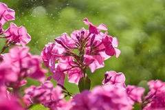 Phlox paniculata Royalty Free Stock Photos