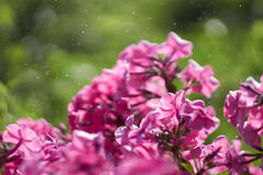 Phlox paniculata Royalty Free Stock Photography
