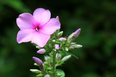 Phlox paniculata - Lighted flower & buds Stock Photos
