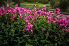 Phlox Paniculata, Lord Clayton Variety, Phlox With Red Flowrs Royalty Free Stock Photography