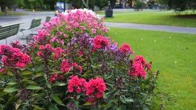 Phlox paniculata, Purple Kiss variety, phlox with purple and white flowrs. Phlox paniculata, Purple Kiss variety is a garden phlox with green leaves and purple stock footage