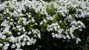 Phlox paniculata, white admiral variety, phlox with white flowrs. Phlox paniculata, white admiral variety is a garden phlox with green leaves and white fragrant stock video footage