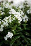 Phlox paniculata, White Admiral variety, phlox with white flowrs Royalty Free Stock Photo
