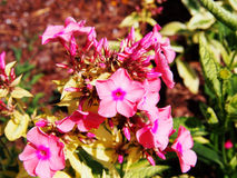 Phlox paniculata 'Becky Towe' Royalty Free Stock Images