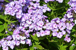 Phlox. The perennial garden plant Phlox in full bloom Royalty Free Stock Photography
