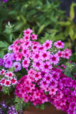 Phlox pink bright blossom with green background Royalty Free Stock Image