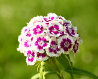 Carnation. Pink flowers close up Royalty Free Stock Photography