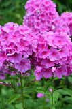 Phlox pink Stock Images