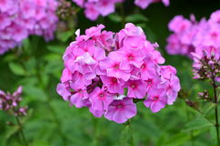 Phlox pink Royalty Free Stock Image
