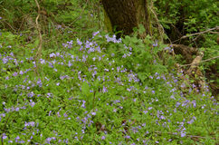 Phlox (Polemoniaceae). Growing here in this forested area of the Great Smoky Mountains National Park, NC/TN, USA Royalty Free Stock Image