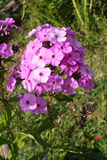 Phlox. Purple Phlox on the background of grass Royalty Free Stock Photos