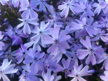 Purple Phlox Flowers Royalty Free Stock Photo