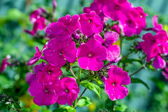 Phlox after rain Stock Image
