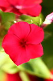 Phlox Stock Images