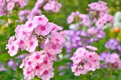 Phlox rosado fotografía de archivo libre de regalías