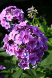 Phlox rose Photographie stock