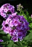 Phlox rose photographie stock