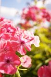 Phlox rose - belles fleurs image stock