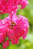 Phlox rose Fleur d'été Photographie stock libre de droits
