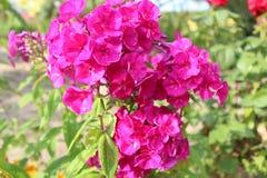 Phlox roxo Fotografia de Stock