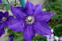 Phlox roxo Fotografia de Stock Royalty Free