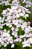 Phlox sauvage Photos stock
