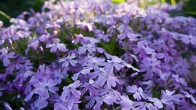 Phlox shelovidny macro. Royalty Free Stock Photos